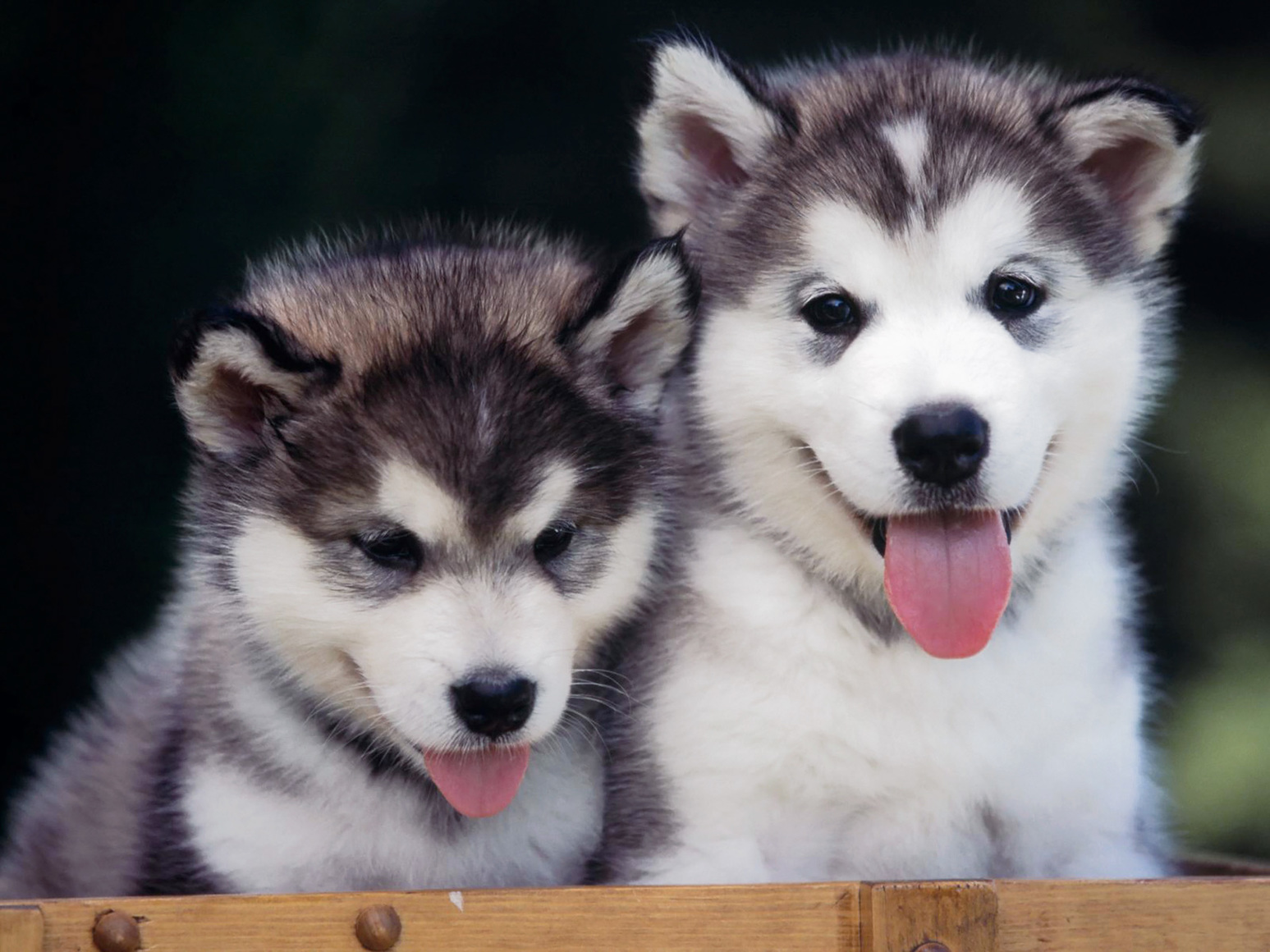 48829 husky husky puppies