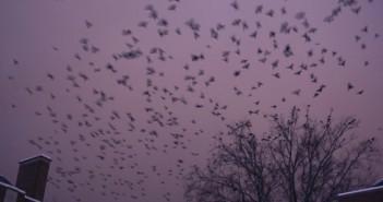 zritenour-crows1