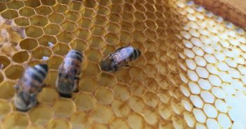 Bees hiding